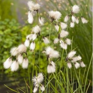 Veenpluis (Eriophorum angustifolium) moerasplant