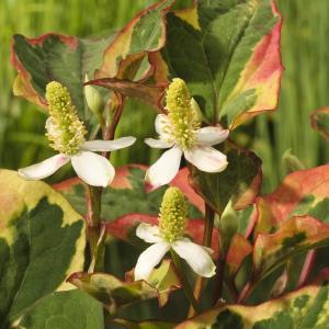 "Bonte moerasanemoon (Houttuynia cordata ""Chameleon"") moerasplant"