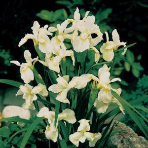 """Witte Siberische iris (Iris Sibirica """"Snow Queen"""") moerasplant"""