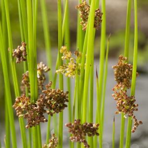 Pitrus (Juncus effusus) moerasplant