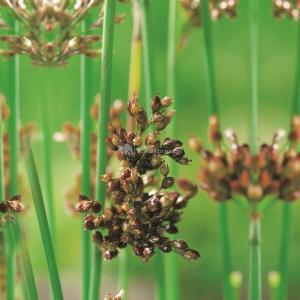 Mattenbies (Scirpus lacustris) moerasplant