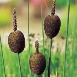 Dwerglisdodde (Typha minima) moerasplant