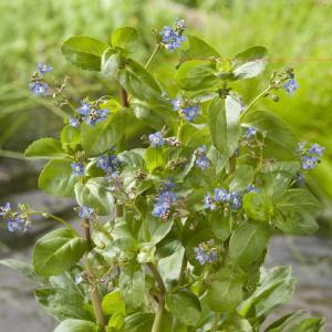 Beekpunge (Veronica beccabunga) moerasplant