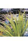 "Bonte dwergkalmoes (Acorus gramineus ""Ogon"") moerasplant"