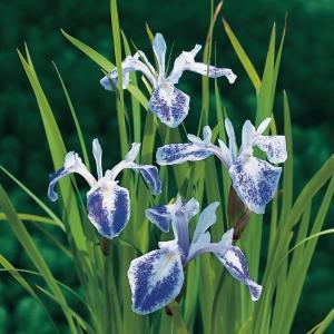 "Gevlekte Japanse iris (Iris laevigata ""Mottled Beauty"") moerasplant - 6 stuks"