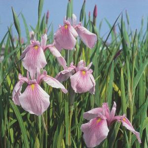 "Roze Japanse iris (Iris laevigata ""Rose Queen"") moerasplant"