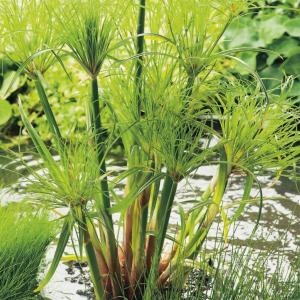 Papyrus (Cyperus papyrus 'Perkamentus') moerasplant
