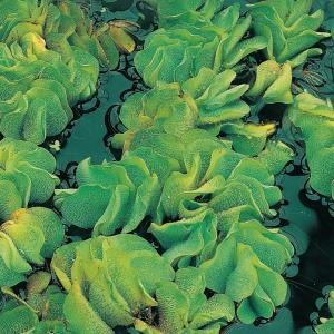 Kleine vlotvaren (Salvinia Natans) drijfplant
