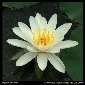 Witte waterlelie (Nymphaea alba) waterlelie