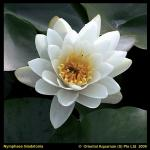 Witte waterlelie (Nymphaea Gladstoniana) waterlelie