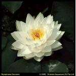 Witte waterlelie (Nymphaea Gonnere) waterlelie