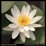 Witte waterlelie (Nymphaea Marliacea Albida) waterlelie