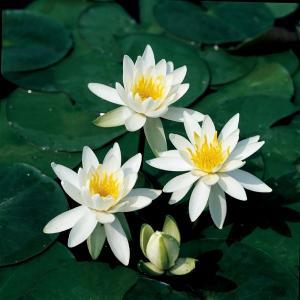 Witte waterlelie (Nymphaea odorata alba) waterlelie
