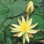 Gele waterlelie (Nymphaea Colonel A.J. Welch) waterlelie