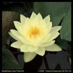 Gele waterlelie (Nymphaea Joey Tomocik) waterlelie