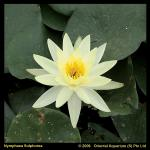 Gele waterlelie (Nymphaea Sulphurea) waterlelie