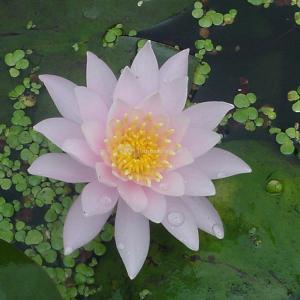 Roze waterlelie (Nymphaea Fabiola) waterlelie