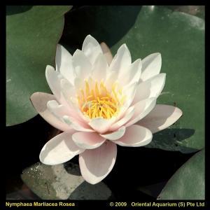 Roze waterlelie (Nymphaea Marliacea Rosea) waterlelie - 6 stuks