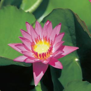 Tropische roze waterlelie (Nymphaea tropical pink) waterlelie