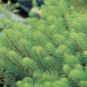 Diamantkruid (Myriophyllum aquaticum 'red stem') zuurstofplant - 10 stuks