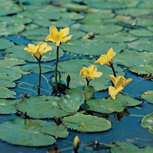 Watergentiaan (Nymphoides peltata) zuurstofplant - 10 stuks