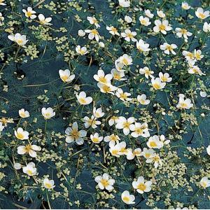 Fijne waterranonkel (Ranunculus aquatilis) zuurstofplant