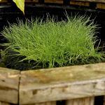 Borstelbies (Scirpus isolepsis) zuurstofplant