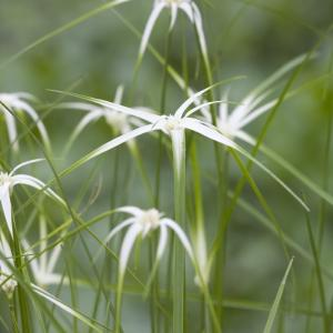 Sterrengras (Dichromena colorata) moerasplant