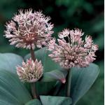 Sierui (Allium karataviense) moerasplant