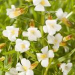 Genadekruid (Gratiola officinalis) moerasplant