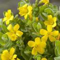 Moerashertshooi (Hypericum elodes) moerasplant