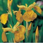 Gele iris (Iris pseudacorus) moerasplant