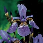 Siberische iris (Iris Sibirica) moerasplant