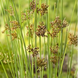 Zeegroene Rus (Juncus inflexus) moerasplant