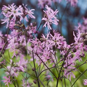 Echte koekoeksbloem (Silene flos-cuculi) moerasplant