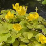 "Goud penningkruid (Lysimachia nummularia ""aurea"") moerasplant"