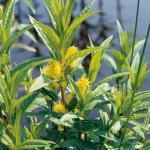 Moeraswederik (Lysimachia thyrsiflora) moerasplant