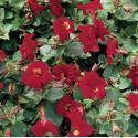 "Rode maskerbloem (Mimulus ""Bonfire red"") moerasplant"