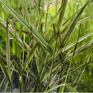 "Kanariegras (Phalaris arundinacea ""Picta"") moerasplant"