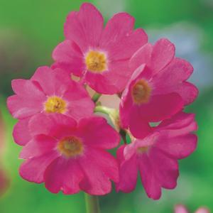 Roze sleutelbloem (Primula rosea) moerasplant