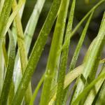 "Japanse kalmoes (Acorus gramineus ""Hakiro Nishiki"") moerasplant"
