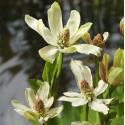 Wateranemoon (Anemopsis Californica) moerasplant
