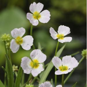 Stijve moerasweegbree (Baldellia ranunculoides) moerasplant