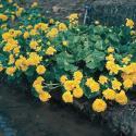 "Dubbele dotterbloem (Caltha palustris ""multiplex"") moerasplant"