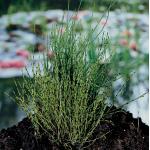 Dwergholpijp (Equisetum scirpoides) moerasplant