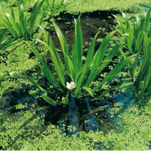 Krabbenscheer (Stratiotes aloides) drijfplant - 10 stuks