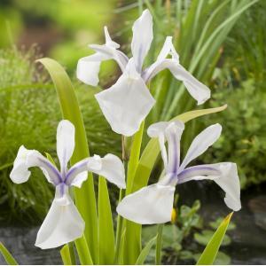 "Witte Japanse iris (Iris Laevigata ""Snowdrift"") moerasplant"
