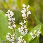 "Wit snoekkruid (Pontederia cordata ""alba"") moerasplant"