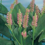 """Roze snoekkruid (Pontederia cordata """"Pink pons"""") moerasplant"""