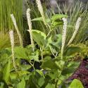 Leids plantje (Saururus cernuus) moerasplant